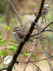 white throated sparrows