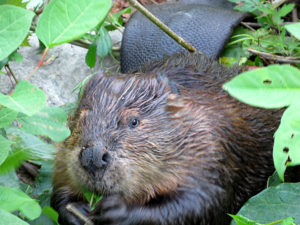 A beaver munching away.