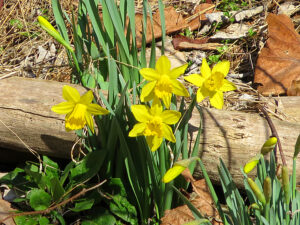 Daffodils along the Delaware Canal towpath