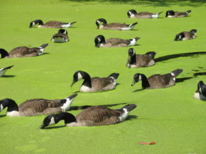 Canada geese gobble up duckweed.