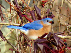 Carole is an accomplished birder, and Eastern Bluebirds are her very favorite, so you may see a few during the program.