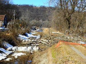 sycamore tree cut down new towpath
