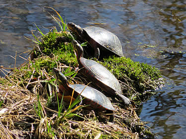 turtles sunning near jugtown road