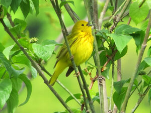 A Yellow Warbler along the Delaware Canal