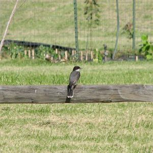 Kingbird Perched on Fence