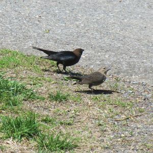 Brown Headed Cowbirds