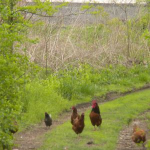 Chickens on the towpath
