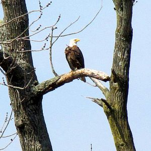 Bald Eagle Perching