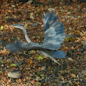 Heron taking off for a flight