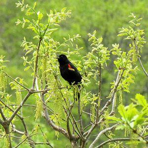 Redwinged Black Bird