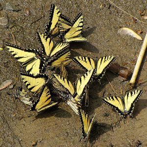 Tiger Swallow Tail Butterflies