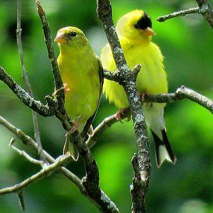 American Goldfinch Pair