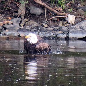 Bald Eagle taking a bath in the Delaware River