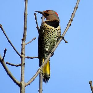 Northern Flicker with Yellow Shaft