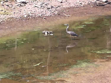 great blue heron and low water